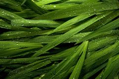 Raindrops on ornamental grass Royalty Free Stock Photo