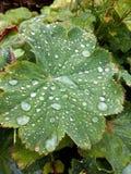 Raindrops på en leaf Royaltyfri Bild