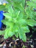 Raindrops på växt Royaltyfri Foto