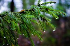 Raindrops on the` paw ` of pine stock photo