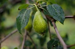 Raindrops on pears royalty free stock photography