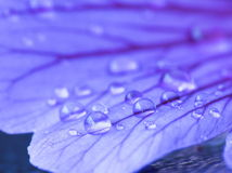 Raindrops on a petal Royalty Free Stock Photography
