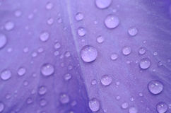 Raindrops on a petal Stock Image