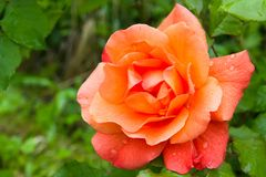 Raindrops on the petals of a beautiful orange rose in the summer garden royalty free stock photography