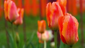 Red-orange tulips flower after rain. Raindrops on the petals of a flower red-orange tulip stock footage