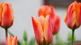 Red-orange tulips flower after rain. Raindrops on the petals of a flower Red-Orange Tulip stock video footage