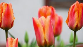 Red-orange tulips flower after rain. Raindrops on the petals of a flower Red-Orange Tulip stock video footage