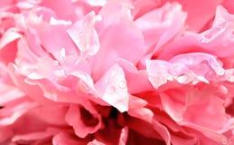 Raindrops on petals of peony Stock Photography