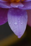 Raindrops on the petals royalty free stock photography