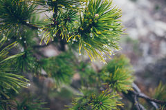 Raindrops on Pine Branch Royalty Free Stock Photography