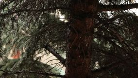 Raindrops on Pine Branches. Rain drops on the pine branches, static and pan shot stock footage