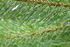Raindrops on pine Royalty Free Stock Photos