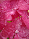 Raindrops and pink flowers Stock Photo