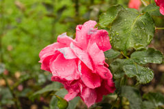Raindrops on pink fuchsia  Red Rose. Green leaves bushes and vibrant colored flowers in gardens on Petrin hill in Prague in a cloudy sunset just after rain in Stock Image