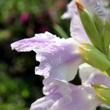 Raindrops on a pink gladiolus. Selekted focus. royalty free stock images