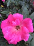 Pink rose and raindrops Stock Photography
