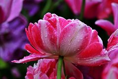 Raindrops on a pink tulip royalty free stock images