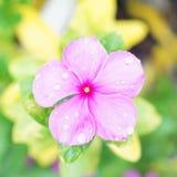 Raindrops on pink vinca Royalty Free Stock Photography
