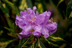 Purple Flowers with Raindrops. Raindrops on purple flowers with variegated leaves Royalty Free Stock Photo