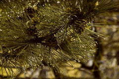 Raindrops. Rain on the pine branch Stock Photo