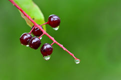 Raindrops and Rain on Plants Berry Royalty Free Stock Photo