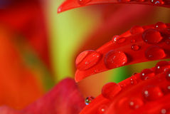 Raindrops on a red flower leaf Stock Image