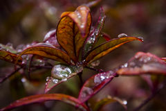 Raindrops on red leaves Stock Photography