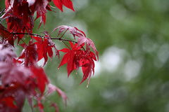 Raindrops on red Maple leaves. Closeup of raindrops of colorful red Maple tree leaves royalty free stock photos