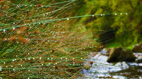 Raindrops on the reeds. Beside a river Royalty Free Stock Photos