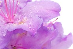 Raindrops on Rhododendron Stock Images
