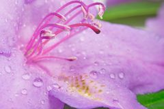 Raindrops on Rhododendron Stock Image