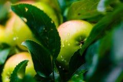Raindrops on ripe apple hanging on green tree macro stock photo