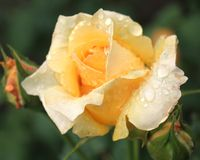 Raindrops on a rose Stock Photos