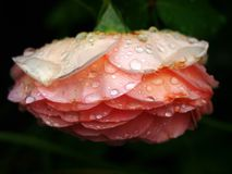Raindrops on a rose. Raindrops on a beutiful pink rose Stock Photography