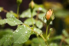 Raindrops and rose bud. Rain drops on leaf of rose plant, with rose bud growing in the background Stock Photography