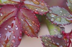 Raindrops on rose leaves. Raindrops cover new leaves sprouting on a rose plant as spring begins to emerge from winter Stock Photos