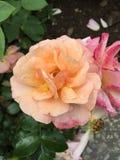 Raindrops on Rose Royalty Free Stock Photo