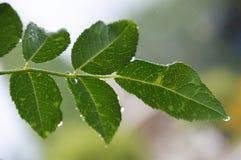Raindrops on rosebush leaves Stock Images