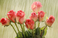 Raindrops and roses. Heavy raindrops and pink roses Stock Images