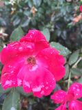 Raindrops on roses. Hot pink roses with raindrops after a storm Stock Image