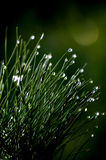 Raindrops on small pine bush. Close-up of water drops on the needles of an evergreen Stock Photography