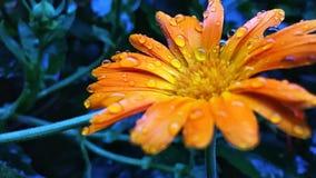 Orange flowerhead. Raindrops on sn orange flowerhead Stock Images