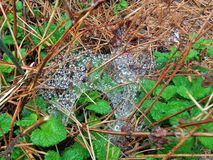 Raindrops on a Spiderweb Over Pine needles and Lemon-balm Melissa officinalis. Rainfall during the night has left a sparkling design on a spider web.  It is stock photo