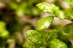 Raindrops on Spring Leaves royalty free stock images