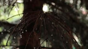 Raindrops on Spruce Branches. Rain drops on spruce branches with camera movement stock video footage