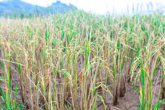 Raindrops on the stems of rice Stock Photos