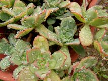 Raindrops on Succulents royalty free stock images