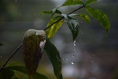 Raindrops in summer. Leaves rain beautiful stock images
