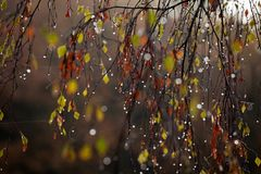 Raindrops on tree in autumn. In the morning Royalty Free Stock Photography