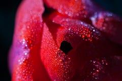 Raindrops on a tulip petal Royalty Free Stock Photo